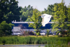 Taking Flight (joscelyn_p) Tags: greategret bird flight fly flying white park wild wildlife nature preserve feathers beak canon lightroom outside outdoors day daytime