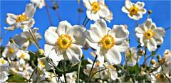 Anmones du Japon (Une femme ...) Tags: blue sky white flower japanese bleu ciel anemone blanche japon