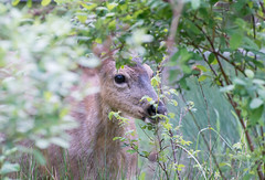 Face to Face. (Omygodtom) Tags: wild outdoors detail deer animal wildlife mountain oaksbottom nature natural nikon nikon70300mmvrlens selectivefocus dof digital nikkor