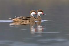 Patos Gargantillo (Cristin Tapia Espinoza) Tags: aves vregin patos rn yali humedal wildlifephotography avesdechile fotonaturaleza gargantillo fotografadeaves