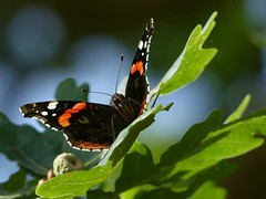 Red Admiral (ukstormchaser (A.k.a The Bug Whisperer)) Tags: red admiral admirals uk butterfly butterflies animal animals wildlife insect insects milton keynes oak tree basking macro perched leaf leaves august summer
