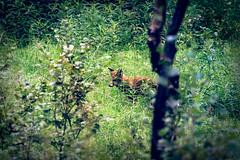 Renard  Alta (jmmuggianu) Tags: canidae canids carnivora carnivores finnmark mammalia mammals mammifres norge norvge norway redfox renardroux tromso vulpesvulpes alta