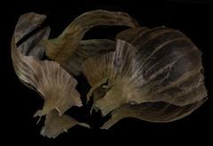 Reflecting On An Onion's Thin Skin (Bill Gracey) Tags: onion skin onionskin thin translucent warmcolors offcameraflash yn560iii softbox yongnuorf603n tabletopphotography mirror mirrored reflection stilllife food vegetable macrolens detail