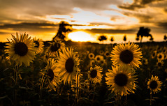 Mid Summer (--Conrad-N--) Tags: sun sunflower field sunset golden sony a7rm2 rim lights