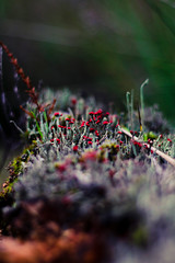 208 - Weird, but kinda cute (DanielleDeviated) Tags: moss heath nature cladoniafloerkeana rodeheidelucifer closeup 50mm color forest wood 3662016 366project