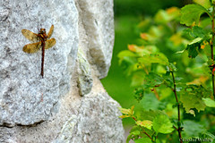 Hanging By A Moment (gustaf wallen) Tags: dragonfly ilovegreen peacegreen nature natural happylife