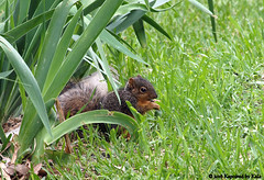 Itty Bitty Baby View 1 (Kaptured by Kala) Tags: sciurusniger foxsquirrel squirrel garlandtexas babysquirrel baby eating alone cute