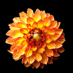 Four Queens Dahlia on black (linco100) Tags: fourqueens mothersday birthday blackbackground blooms bright celebration color colorful colour colourful cutout dahlia exuberance fiery fimbriata floral flowers focus fresh garden greetings happiness happy horticulture isolated joy joyful nature onblack one orange orangeandyellow pair petals plants seasons selectivefocus single square summer sun sunny sunshine tubers two yellow yellowandorange