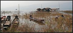 Sur le lac Phayao - On the lake Phayao (diaph76) Tags: thalande lac lake bateaux boats eau water roseaux reeds habitations maisonslacustres lakesidehomes extrieur paysage landscape