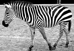 HYPNOTIC ZEBRA (Olivr 's pictures) Tags: olivrspictures leica leicax typ113 bw portrait toulouse zoo plaisancedutouch animals monochrom zebra