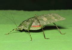 Tettigoniidae sp (tristanba) Tags: ghana orthoptera tettigoniidae