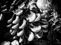 Pine cone (Adobe Garamond) Tags: wood bw white black tree fall grass pine foglie contrast mediterraneo cone dump ground fallen resina pinecone terra bianco nero cibo humidity morto bosco humus scoiattolo bacca colla sottobosco pinomarittimo shoadow decompone