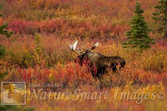 Moose in tundra Tekiela TAN7931 (Stan Tekiela's Nature Smart Wildlife Images) Tags: autumn wild copyright canada fall nature animal animals alaska hair fur photography marine outdoor britishcolumbia critter wildlife moose images coastal stockphotos land mammals terrestrial tundra professionalphotographer mammalia saltwater digitalimages stockimages naturalist vertebrates stockimage wildlifephotography vertibrate stantekiela allrightsreservered naturesmartwildlifewordsandimages