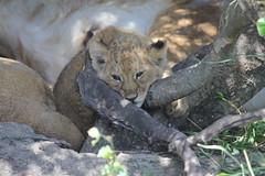 Bored Lion Cub