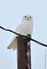 Snowy Owl ... (Ken Scott) Tags: usa fall december michigan powerpole snowyowl 2014 leelanau 45thparallel backpage kenscottphotography kenscottphotographycom