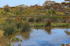 Wetlands (Lesley A Butler) Tags: wildlife australia victoria wetlands thistles saltmarsh altona pigface cynaracardunculus truganinapark artichokethistle 20141128c