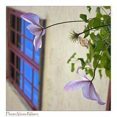 Pale pink (Voss-Nilsen) Tags: pink flowers blue windows flower window nature square natur rosa blomst squared blomster vinduer bl vindu kvadrat naturen bltt kvadratisk