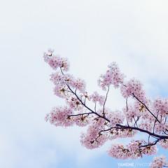 Sakura One / Tokyo, Japan (yameme) Tags: travel flowers nature animal japan cat canon eos tokyo  sakura shinagawa cherryblossoms    meguro     nishikoyama 24105mmlis  5dmarkii 5d2