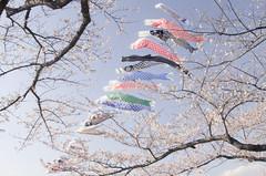 Kitakami - Kitakamitennshouchi () Tags: japan   sakura  kitakami iwateprefecture   flickrhongkong 100 kitakamitennshouchi flickrhkma