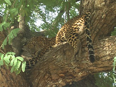 Leopard Dangling in Tree