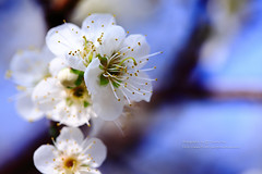 () Tags: flowers flower canon marco plumblossom plumflower   1dx marcolens whiteplumflower 100mmf28marco