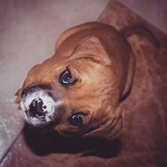 Acogida (Jantbrown) Tags: dog canon puppy perro cachorro boxer pup filters perrito cruce adoption filtro cachorrito adopta adopcin