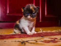 """hmmmm humans..."" (@RmnaRz) Tags: cats pets canon kittens kitties markii 7d2 7dmkii 7dmarkii canon7dmarkii"