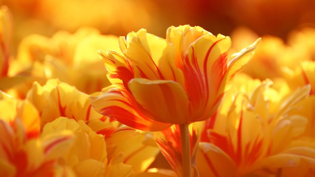 nature-landscapes_hdwallpaper_yellow-red-tulips_21501