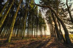 Chemin de sapinire (fabricegillet99) Tags: nature forest landscape angle 14 wide fir paysage fort firs 14mm samyang sapinire