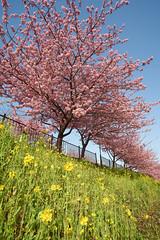 spring (peaceful-jp-scenery) Tags: flower spring sony sigma   sakura cherryblossoms amount    kawazuzakura   1530mmf3545exdgaspherical 99 slta99v