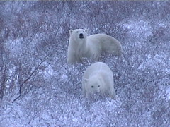 Polar Bears on the Move