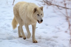 Wolf Sanctuary of Pennsylvania (WabbyTwaxx) Tags: wolf pennsylvania pa forge sanctuary wolves speewell