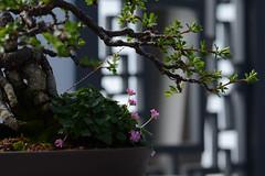 DSC_2002a (Fransois) Tags: flowers green closeup fleurs garden botanical peace dof branches jardin peaceful vert greenhouse bonsai botanique paix serre paisible bonza