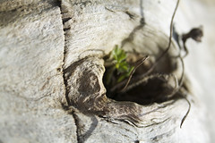 whorl (tiki.thing) Tags: wood tree nature weathered woodgrain whorl