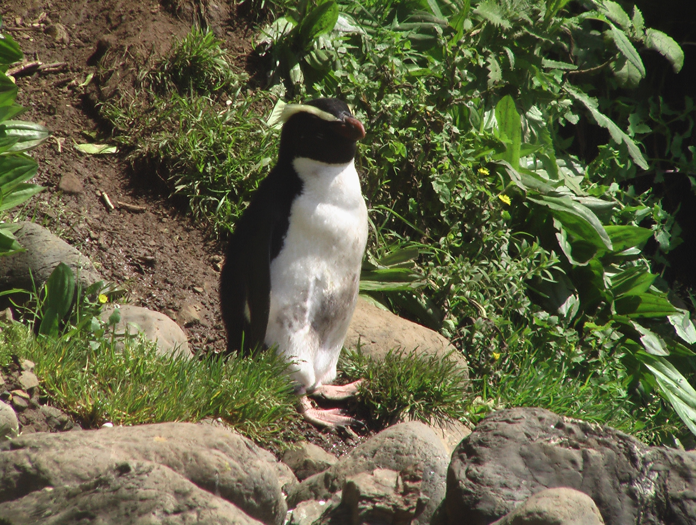fiordland crested penguin on the trail