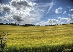 Ripening Grain (neilalderney123) Tags: rural landscape farm grain olympus hampshire winchester omd oplympus
