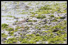 IMG_0029 Ringed Plover (scotchjohnnie) Tags: bird nature canon wildlife northumberland canoneos ornithology seabird ringedplover birdphotography charadriushiaticula ukbirds canon7dmkii scotchjohnnie canonef100400f4556lisiiusm naturewildlifeandbirds