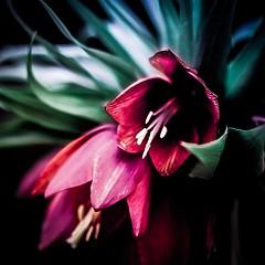 Flora (frankshepherd2) Tags: colours flora flower colour fleur