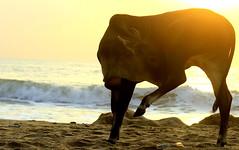 Young Bull (AusBenClicks) Tags: chennai lalgudi trichy austin benjamin kuhoor beach kovalam cwc weekend clickers walk