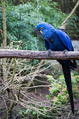 Hyacinth macaw (Cloudtail the Snow Leopard) Tags: bird animal zoo parrot blau macaw papagei ara hyacinth tier vogel amneville hyazinth anodorhynchus hyacinthinus