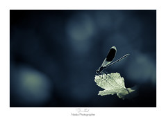 Alone in the dark (Naska Photographie) Tags: macro night dark photo noir photographie darkness dragonfly paysage extrieur nuit insectes libellule proxy macrophoto photographe volant agrion dragonflie macrophotographie proxyphoto naska caloptryx odanate