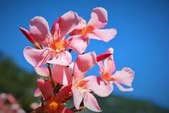 Fiori (tommypoltro) Tags: flower fiori rosa azzurro cielo natura verde foglie petali relax