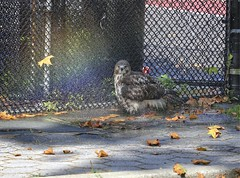 A hawk and her rainbow (Goggla) Tags: nyc new york manhattan east village tompkins square park urban wildlife bird raptor red tail hawk fledgling juvenile bath bathing sprinkler rainbow summer goglog