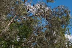 Katherine Gorge Northern Territory bats in tree