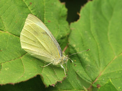 Pieris brassicae (Tim Worfolk) Tags: topsham pierisbrassicae pieridae butterfly largewhite