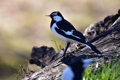 Photobombed (Luke6876) Tags: magpielark bird animal wildlife australianwildlife australianmagpie magpie butcherbird