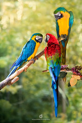 Chitchat (fesign) Tags: 2016 animal arachloropterus beauty beautyinnature bird branch brightcolour chitchat colourimage endangeredspecies feather fulllength goldandbluemacaw gossip greenbackground greenwingedmacaw lookingaway macaw multicoloured nature nopeople outdoors parrot perching photography redandgreenmacaw standing threeanimals tree tropicalbird vertical wildlife