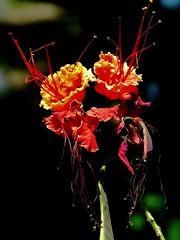 Flor de flamboyn enano (otra vez) (jerodamor@yahoo.com.mx) Tags: naturaleza flores mxico