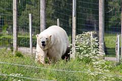 Polar Bear (IMG_8650) (Cameron Burns) Tags: bear park uk white nature animal zoo scotland safari polarbear national seals aviemore muddy marinemammal carnivore cairngorms kincraig vulnerable kingussie ursusmaritimus cairngormsnationalpark arctit meateater highlandwildlifepark rzss
