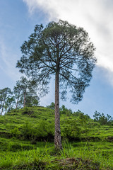 Standing Tall (the1337est) Tags: trees tree alone loner portrait natural nature green hills mountains mountain himalayas india uttarakhand nikon d5200 nikond5200 nikon1855mm sky clouds blue outdoor